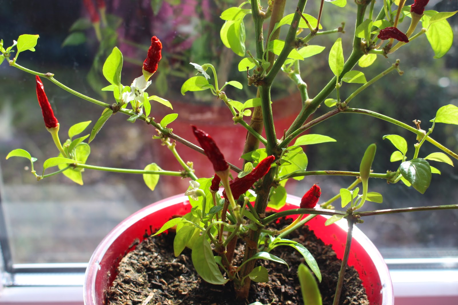 Overwintering chilli plant on my windowsill
