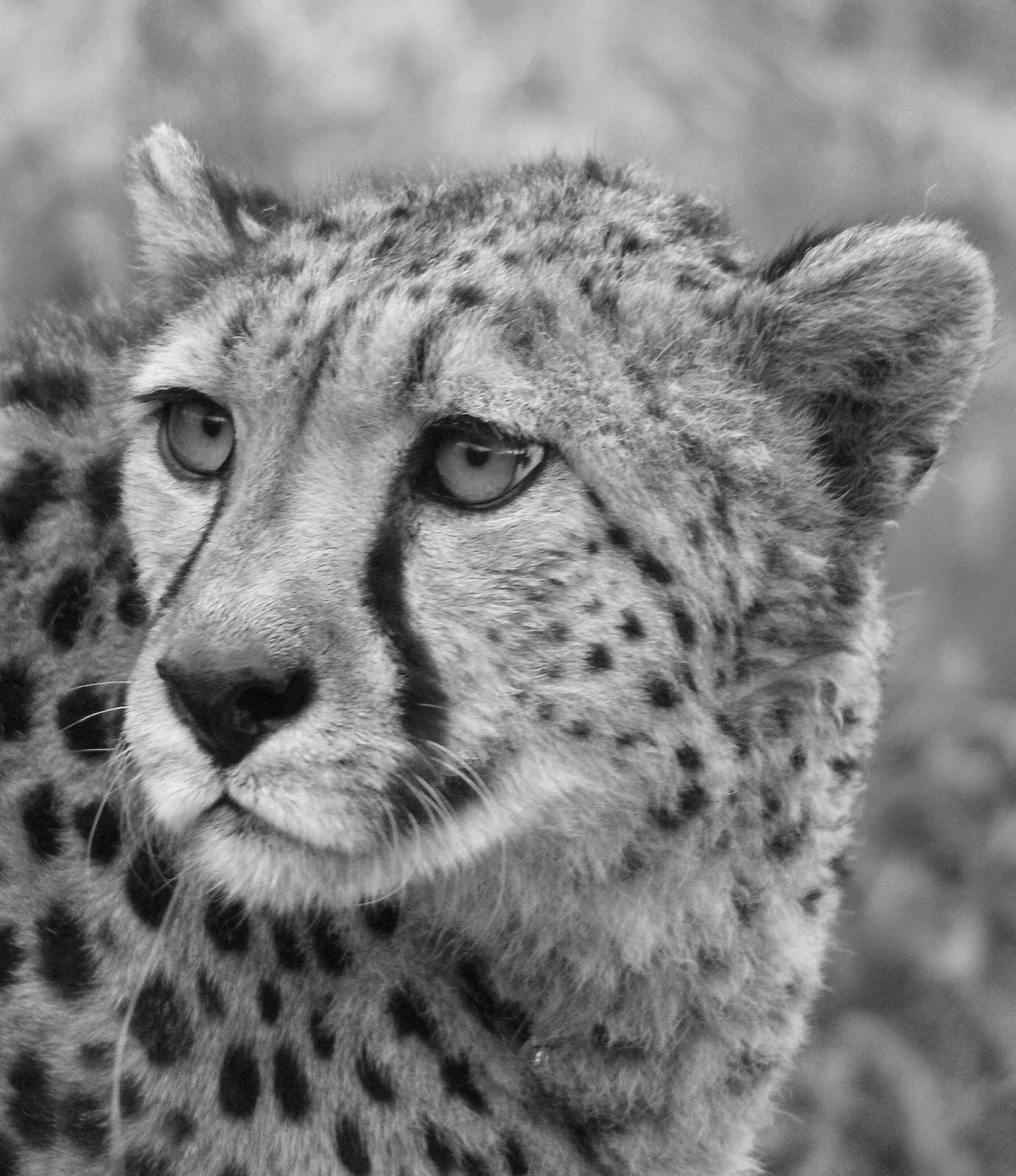 12-Cheetah-Hyper-Realistic-Wildlife-Peter-Williams-www-designstack-co