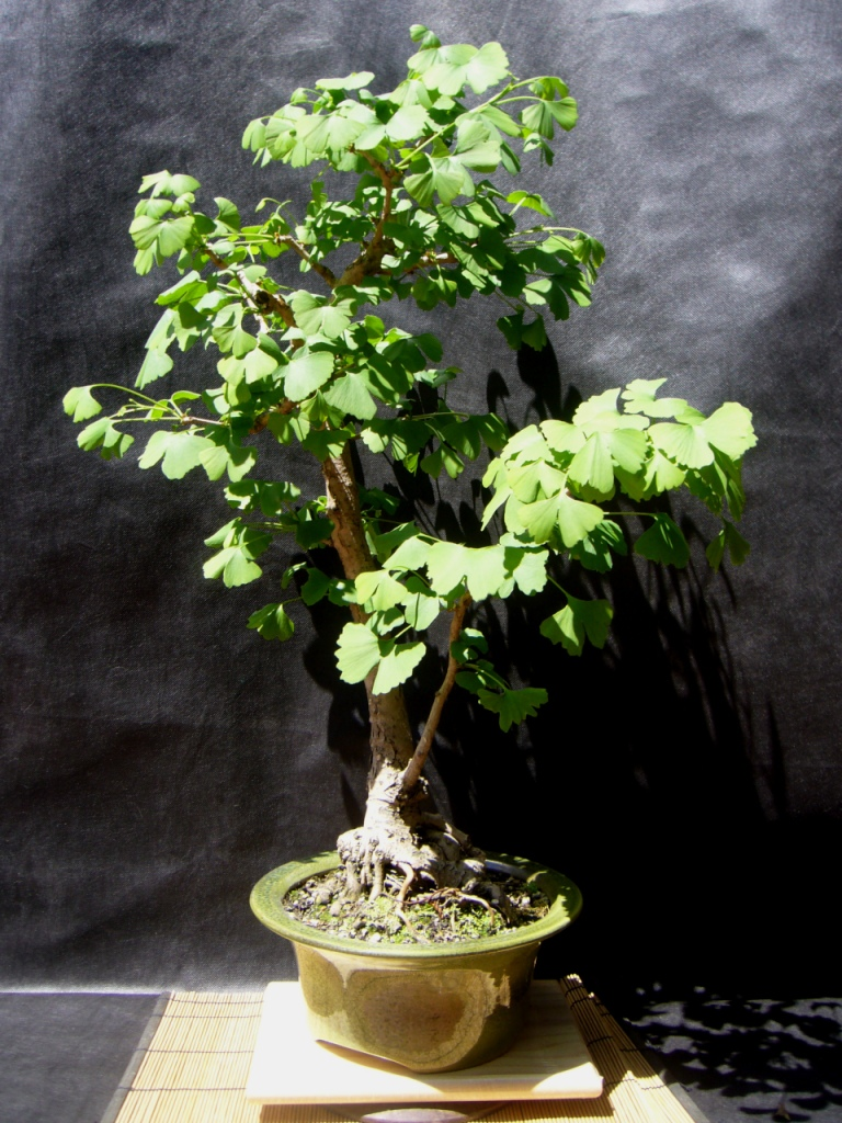 Ginkgo Bonsai Y La Vida Va Con El Arbol The Bonsai Blog