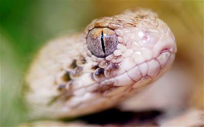 Bayi di Israel kunyah kepala ular
