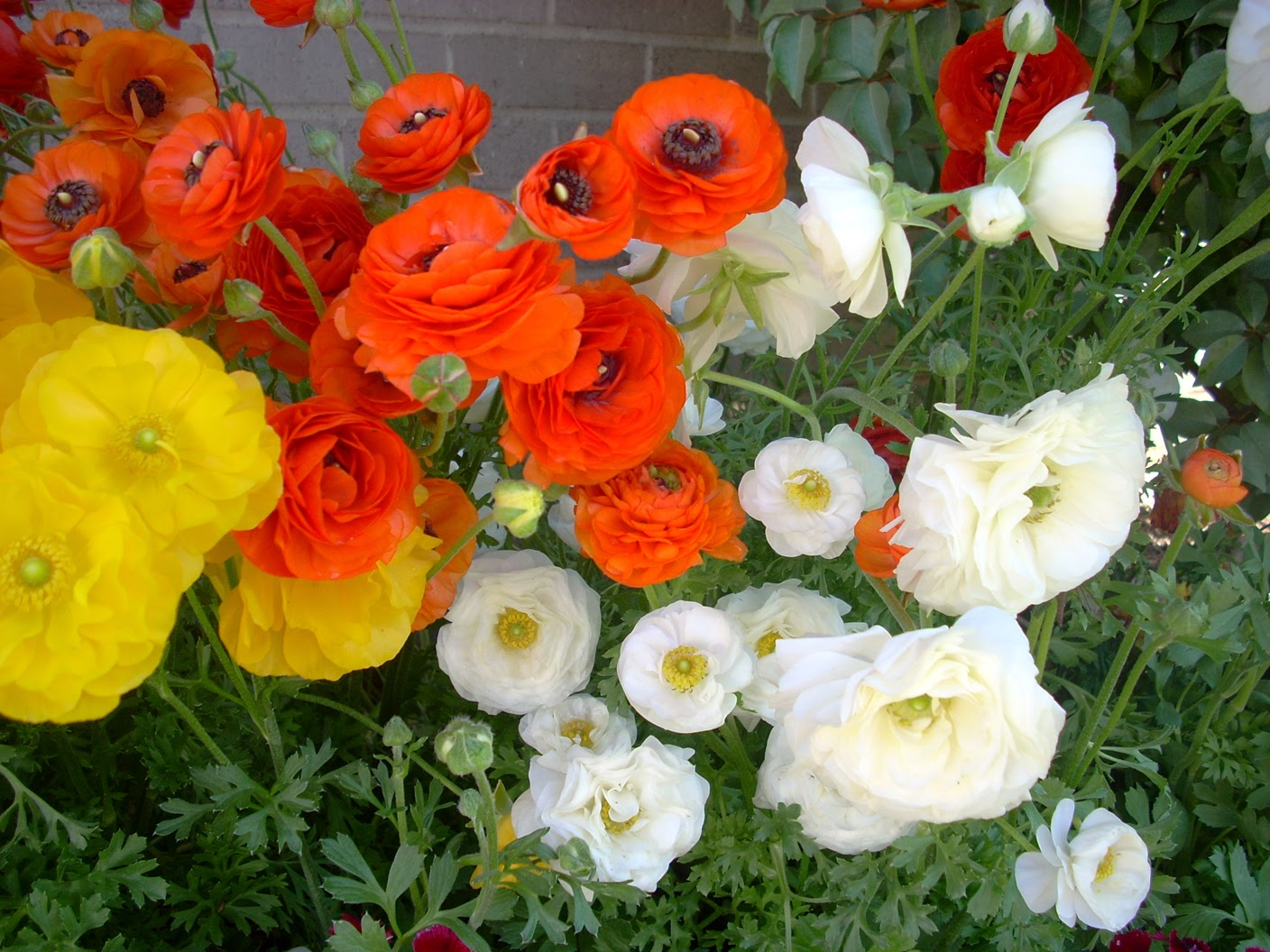 how to grow ranunculus in containers from seed