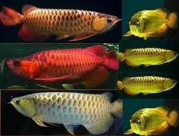 The most wanted ornamental fish ghazuth for Japanese ornamental fish