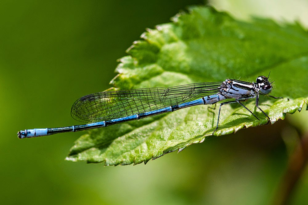 Azure Damselfly - Loughton Valley Park, Milton Keynes