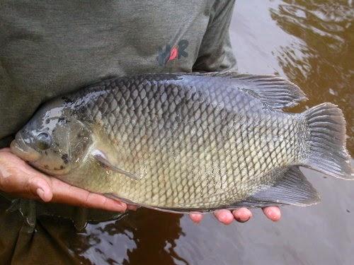 cara ternak ikan gurame