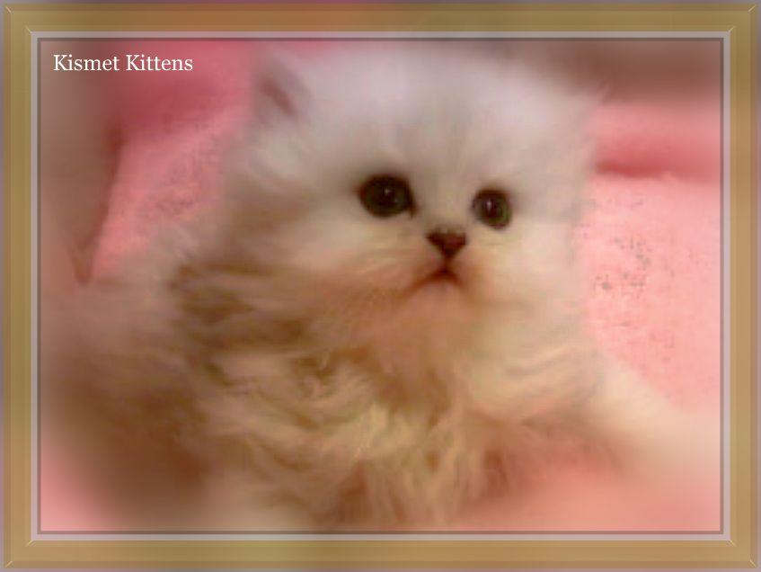 Teacup persian cat new york