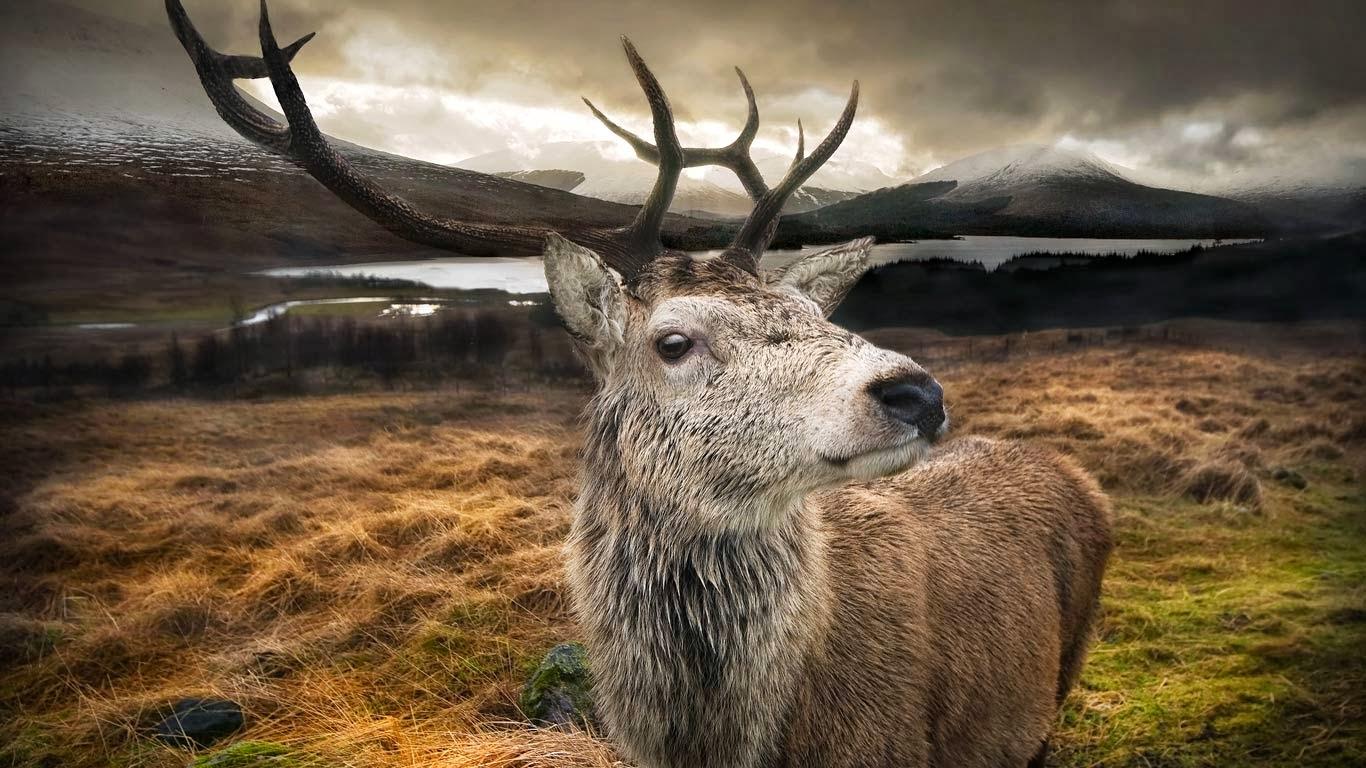 Scotland stag hd wallpaper