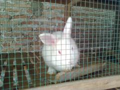 kelinci-10