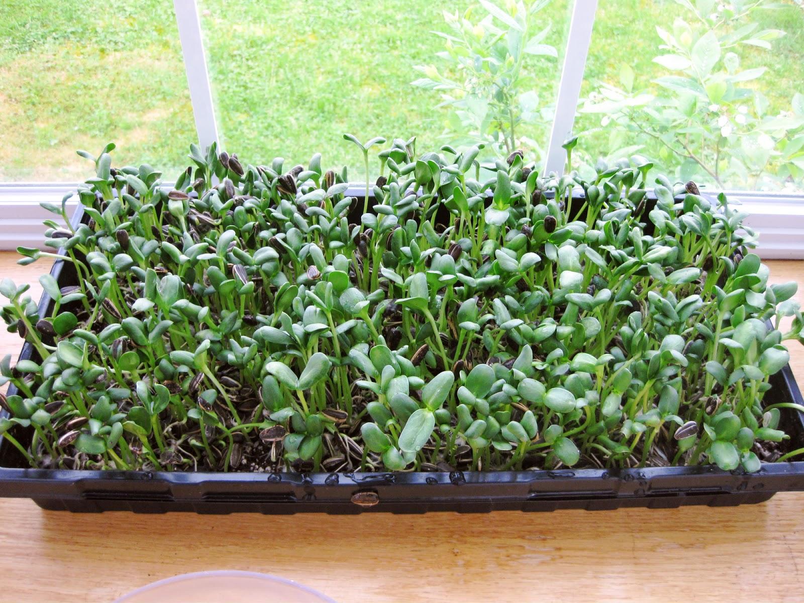 Oishikatta sunflower microgreens for Indoor gardening rainier oregon