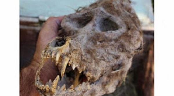 Βούλγαρος Αγρότης Ανακάλυψε Κρανίο Λυκανθρώπου σε σφραγισμένο κουτί