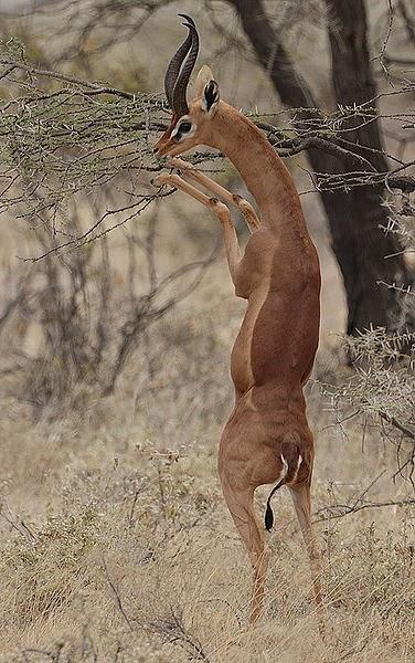 Male gerenuk in classical feeding pose