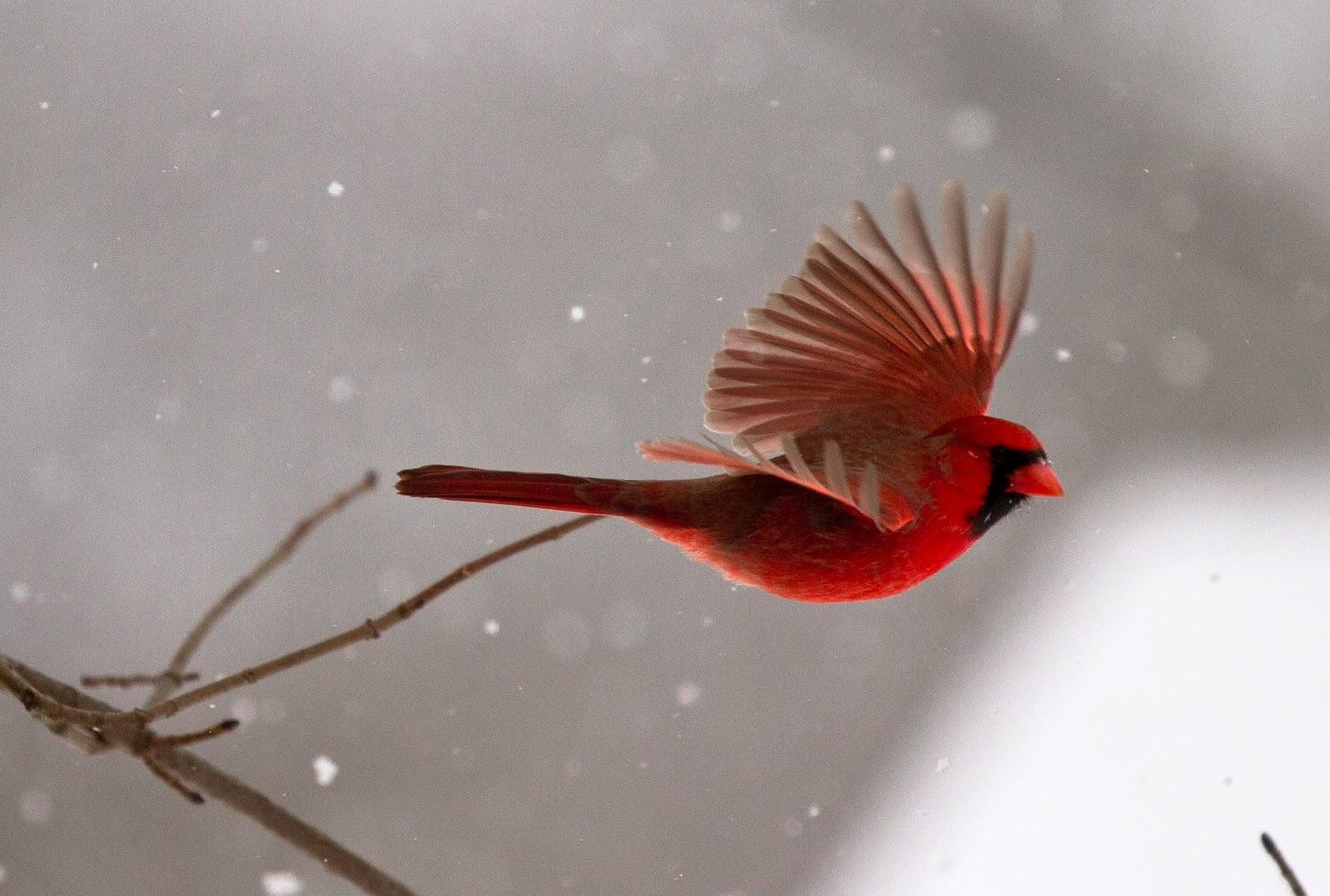 Cardinal Bird Flying Into Window Cardinal Flying Into Window