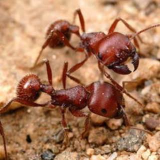 7 Semut Terganas Di Dunia