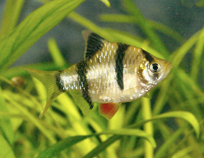 Tiger Barb Fish on Fish Aquarium Delhi  Tiger Barb Fish Care