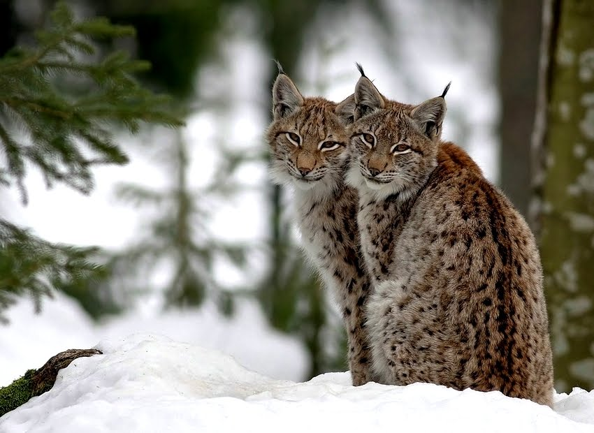 White Wolf : The Lynx Petitions: Save The Beautiful Lynx From ...