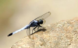 black dragonfly (8)