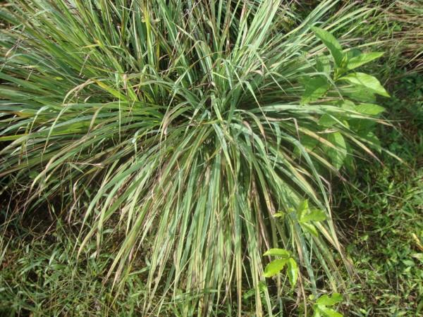 Planta medicinal para las enfermedades del hombre hierba for Salsa de hierba luisa