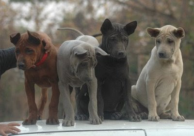 thailand ridgeback puppies