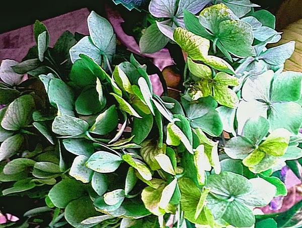 Green Hydrangeas - original colour was pink