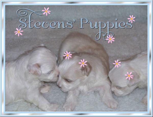 steven s maltese puppies home
