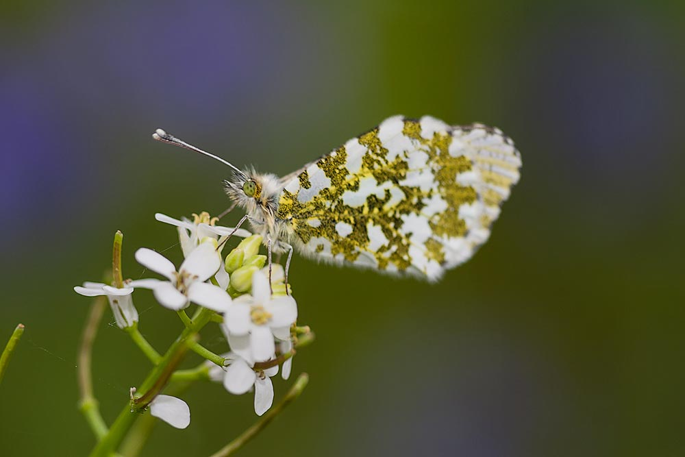 Orange Tip (female) - Loughton Valley Park, Milton Keynes