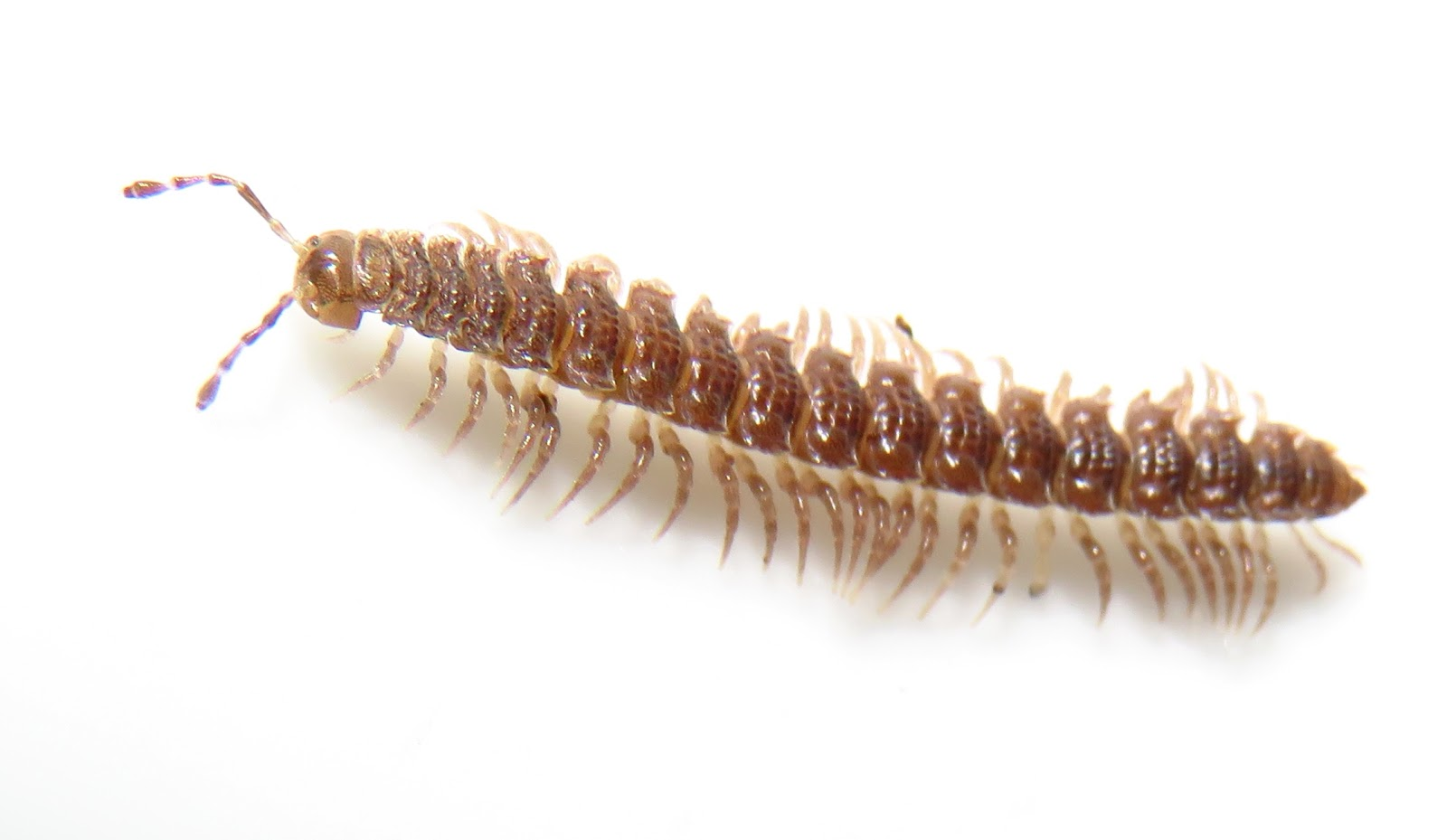 10 Fascinating Millipede facts and pictures