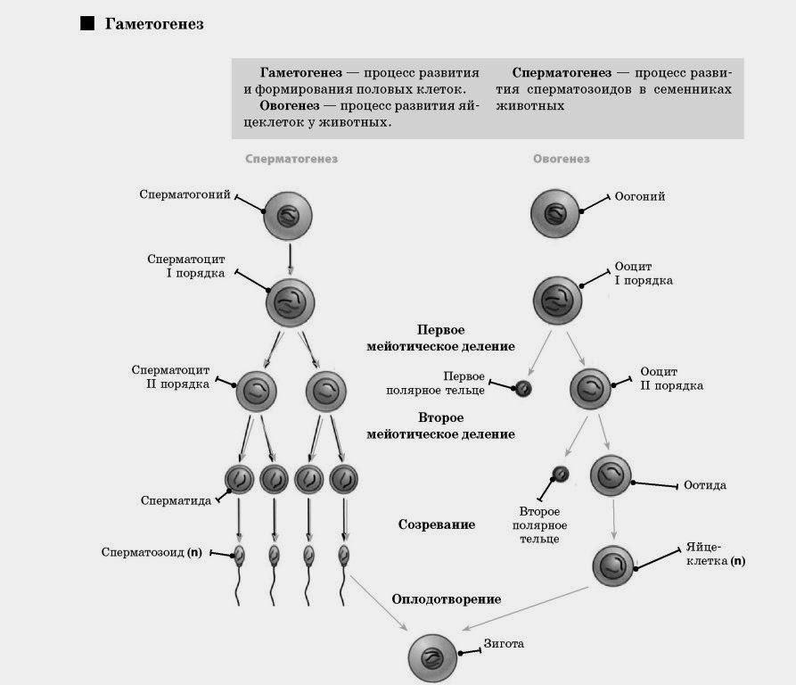 vliyanie-folievoy-kisloti-na-spermatogenez