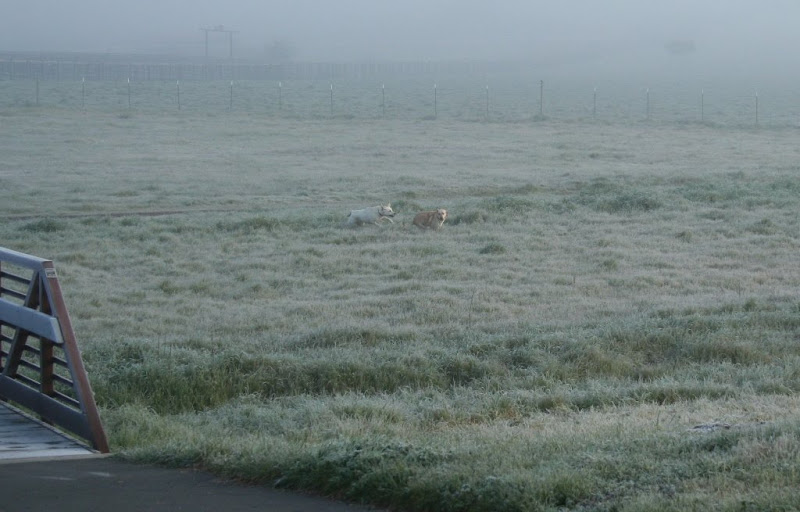 cabana and riley running through a big field of grass that is tinged white with frost