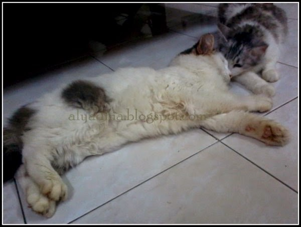 Kucing Demam