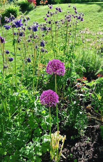Allium och akleja