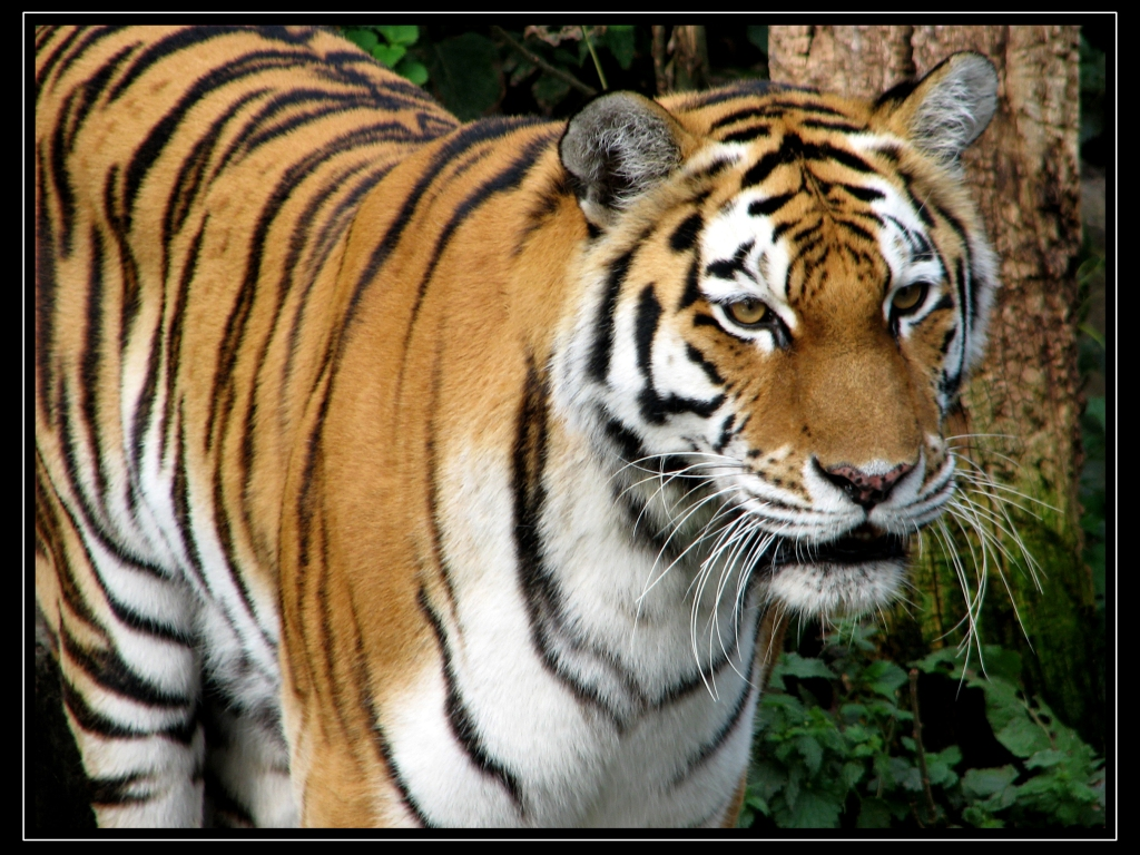 Peaceful image inside printable tiger pictures