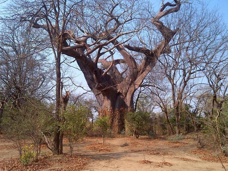 El árbol Leproso | Malawi
