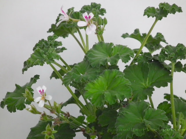 Tutti Fruity scented pelargonium flowers and leaves