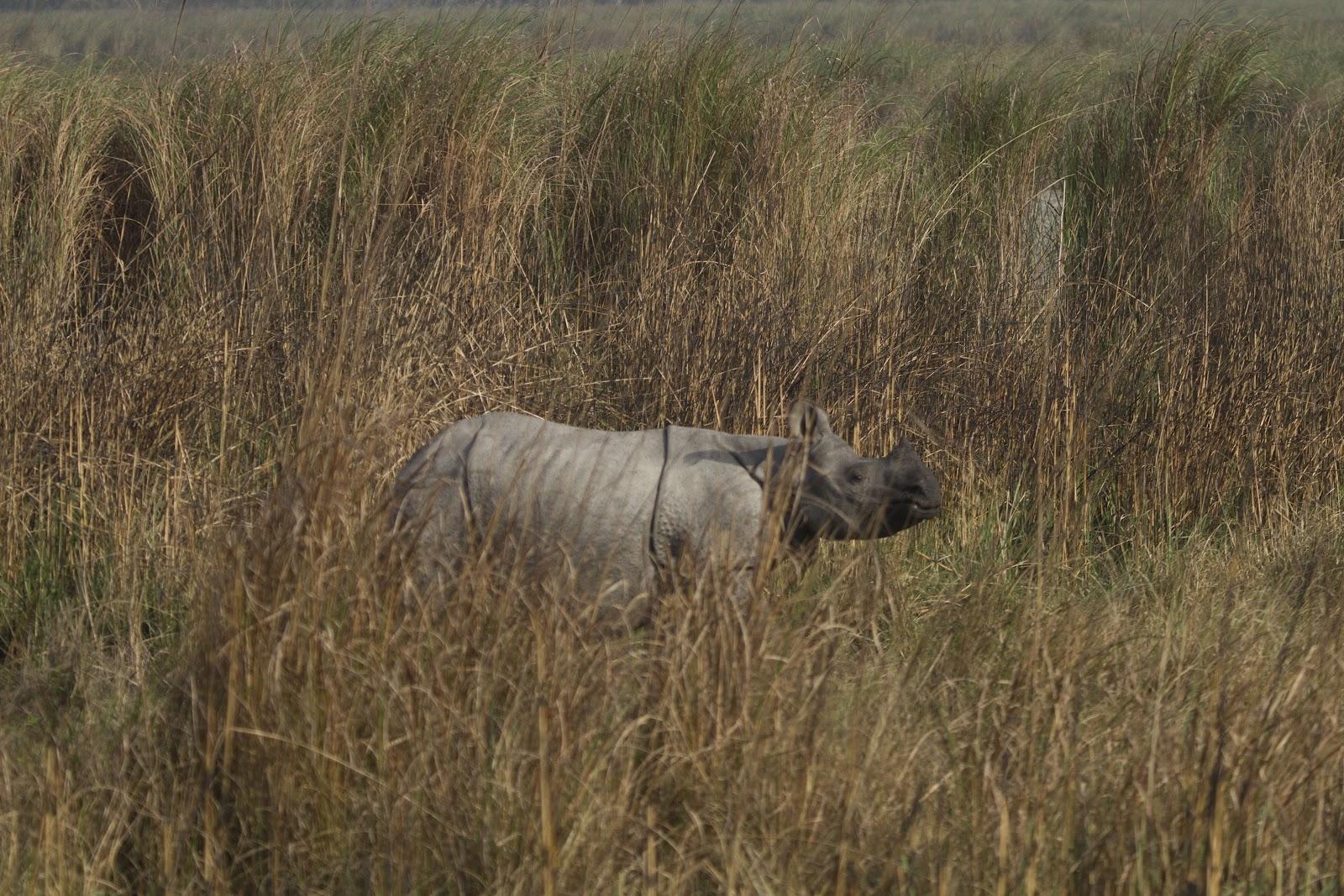 Dudhwa+Rhino+1.JPG