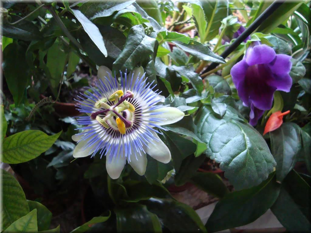 Flor de la Pasión:  entre la fe y la leyenda
