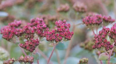 Sedum telephium ssp. rupestris Hab Grey