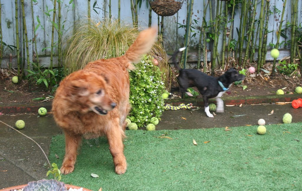 both harold and zoe, blurry from motion, as they retrieve dozens of tennis balls in the tiny backyard