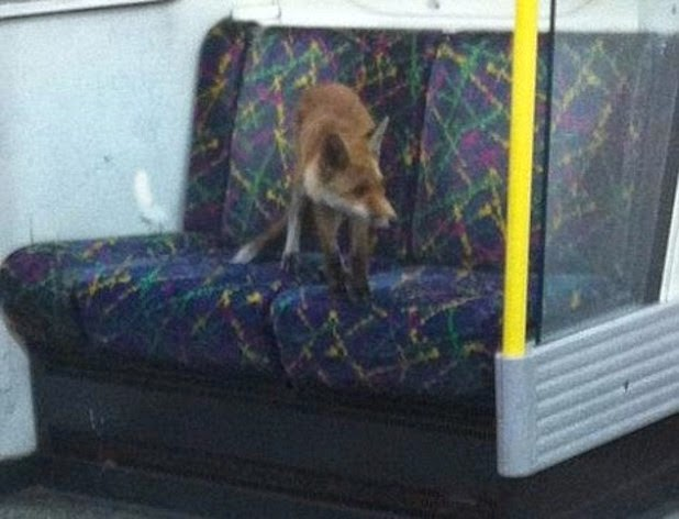 Fox sits on underground seat circle line