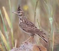 Burung Branjangan jambul paten