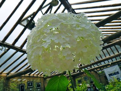 White hydrangea at the Garden of Morning Calm South Korea