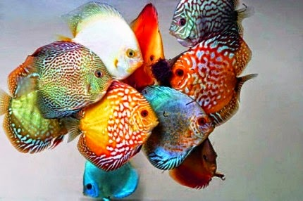 how to breed discus fish at home
