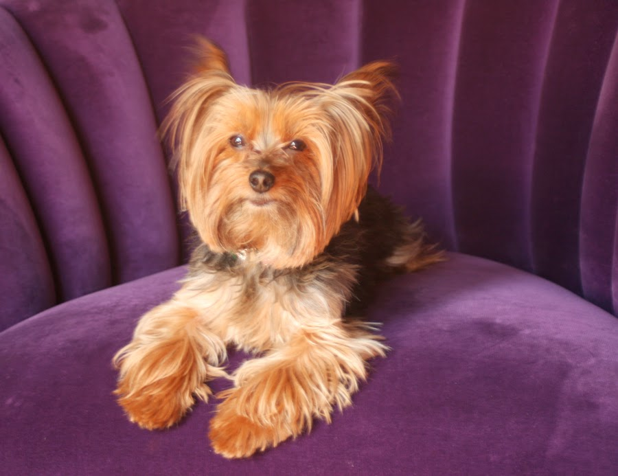 Miniature Yorkshire Terrier Yorkie As A Service Dog Therapy Dog