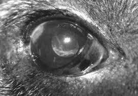 Proptosis Bulbi Ocular pada Anjing