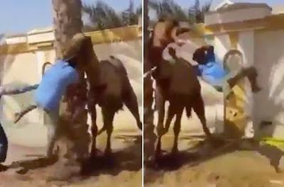 Νευριασμένη καμήλα πιάνει από το κεφάλι και εκτοξεύει τον άμοιρο που προσπαθεί να την ηρεμήσει