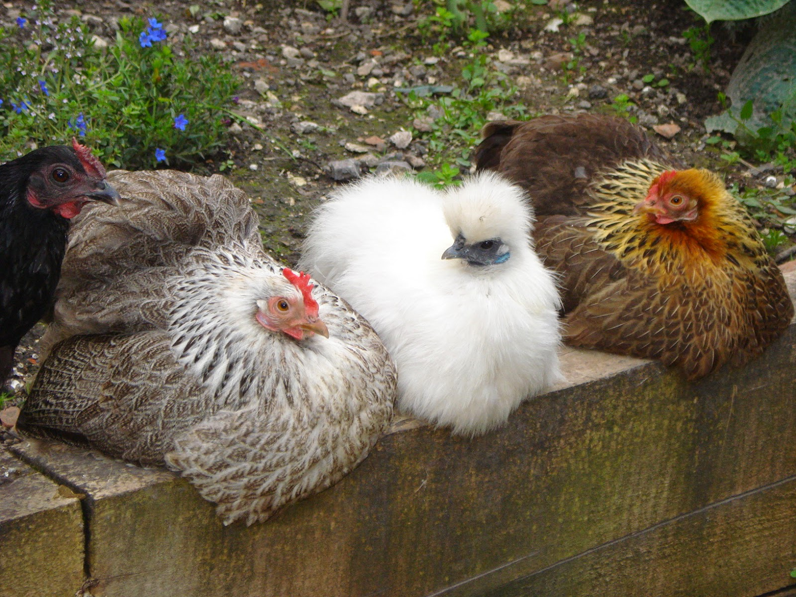 Four bantams relaxing on a wall