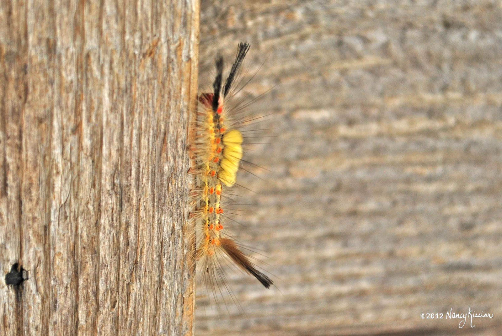 how to get rid of wooly worms