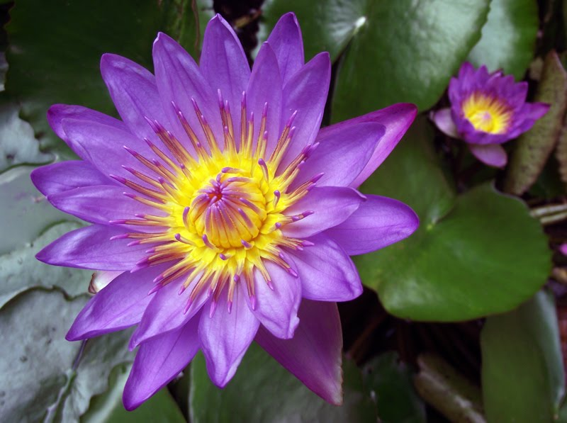 Flower Meanings Water Lily Water Lily July Birth Flower