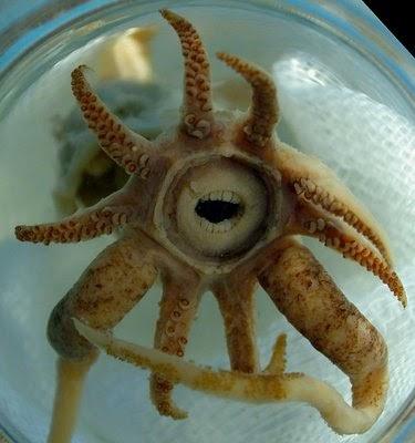 [Image: Promachoteuthis+sulcus.jpg]