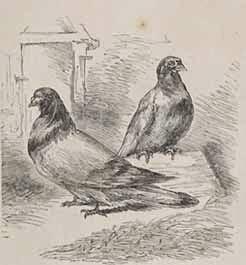 Pigeons rentrés dans Paris avec des dépêches de la province
