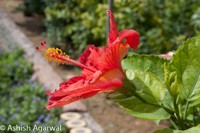 Close up of a bright red Hibiscus flower, on its own branch
