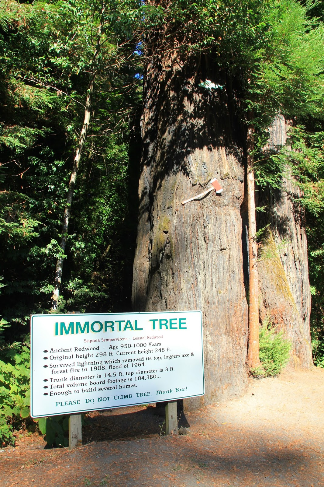 The  Immortal Tree  next to Ancient Redwoods RV Park & Travels with Twinkles: Avenue of the Giants - Part 2